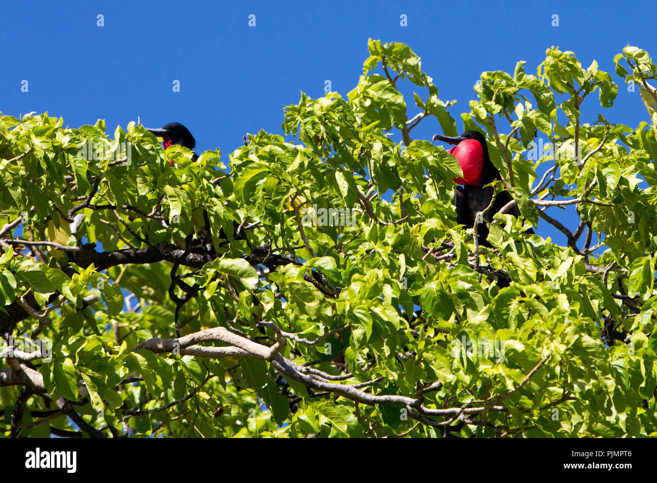 Frigatebirds nesting on one of the small motus at Millennium atoll in the southern line islands of Kiribati. - Stock Image