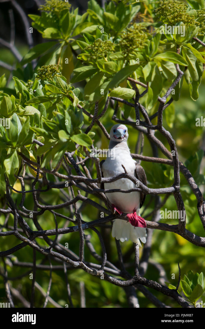 Red-footed booby birds nesting in the trees on Millennium atoll, also known as Caroline island, in the southern line islands of Kiribati. - Stock Image