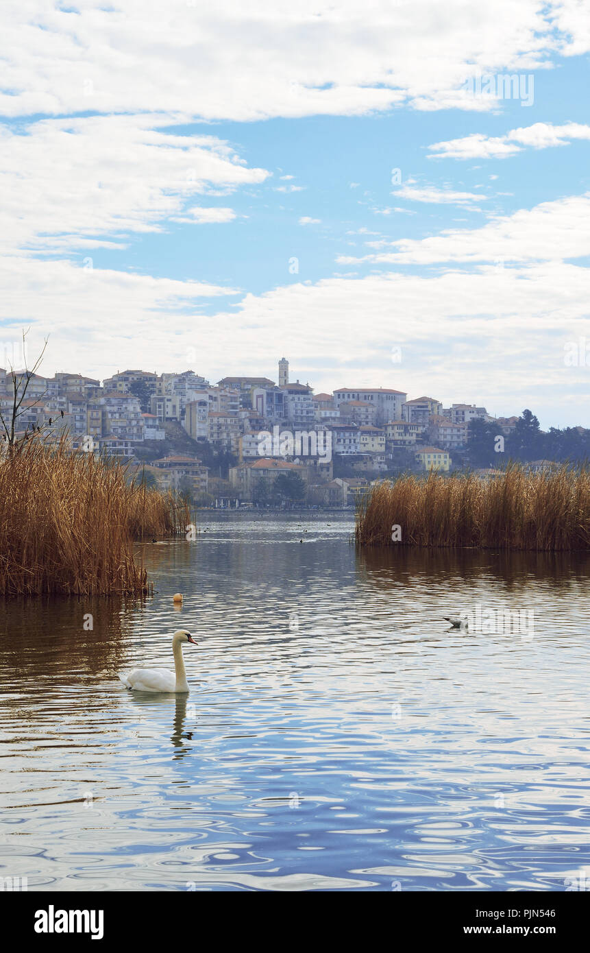 Swans swimming in lake Orestiada , Kastoria Greece - Stock Image