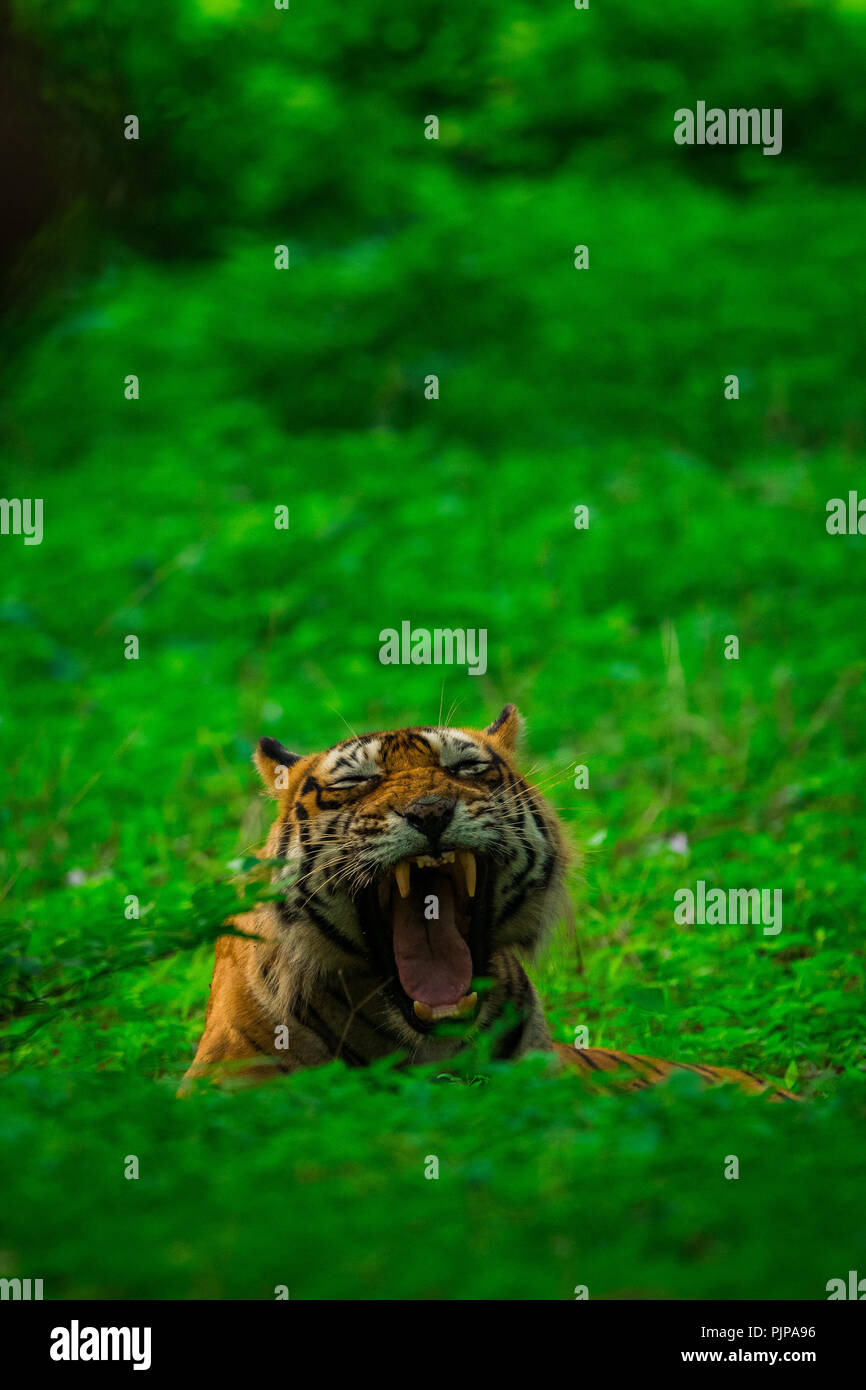 A male tiger yawning in monsoon rains and lush green park at ranthambore national park Stock Photo