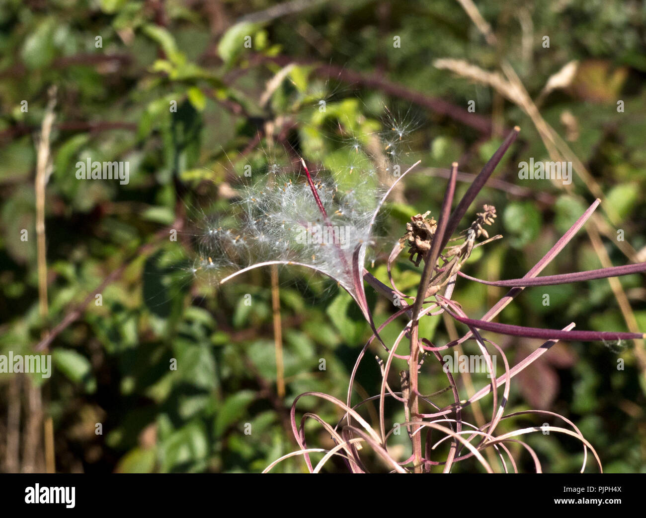 A common wildlflower forming thick stands on disturbed ground, the seeds burst forth in Autumn and are dispursed far and wide on silken parachutes by  - Stock Image