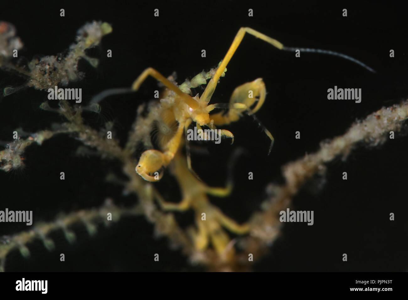 Skeleton Shrimp (Caprella sp.) Picture was taken in Lembeh strait, Indonesia - Stock Image