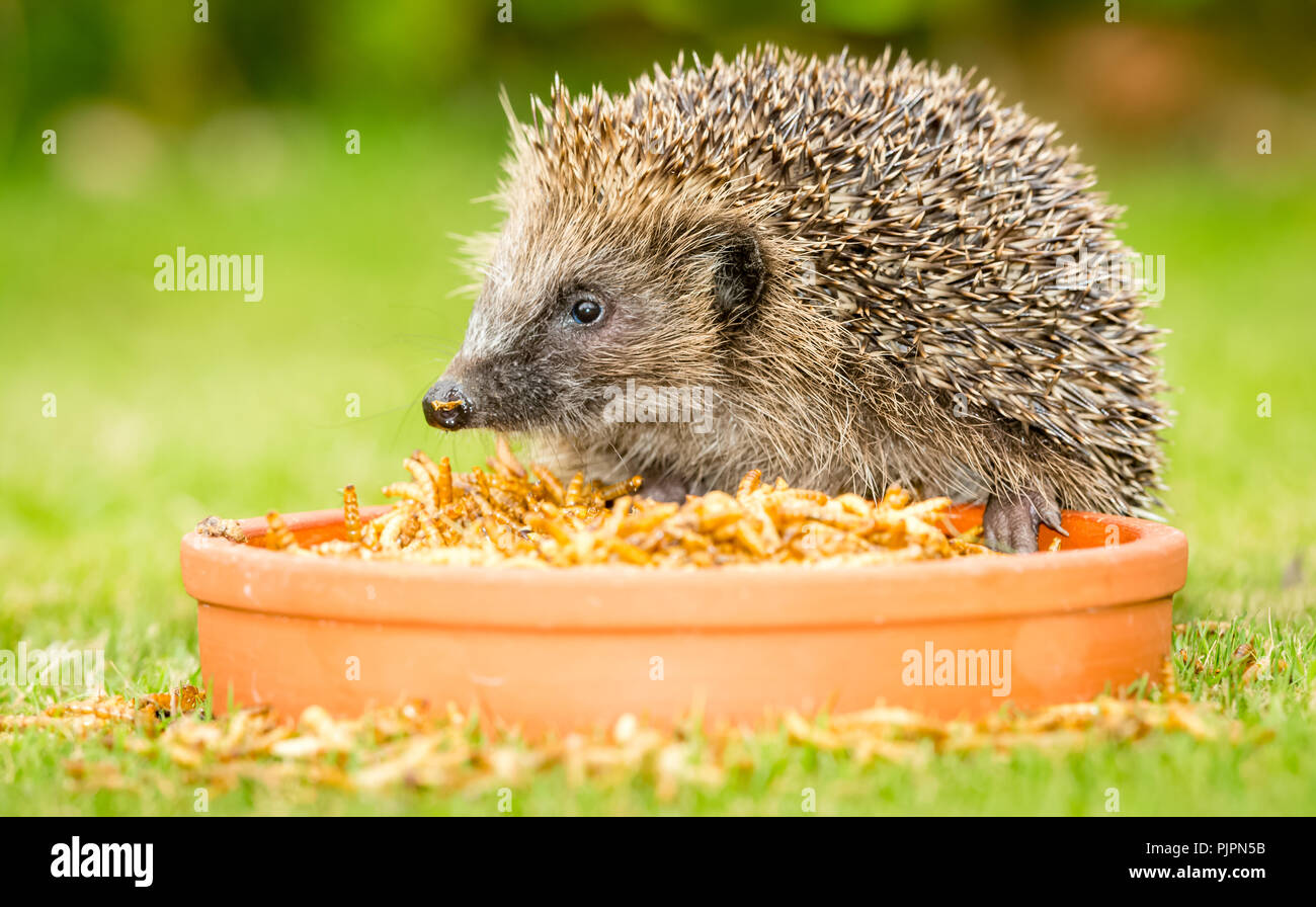 Hedgehogs, native, wild, UK hedgehog with bowl of dried mealworms which are now thought to be bad for hedgehogs.  Scientific name: Erinaceus europaeus - Stock Image