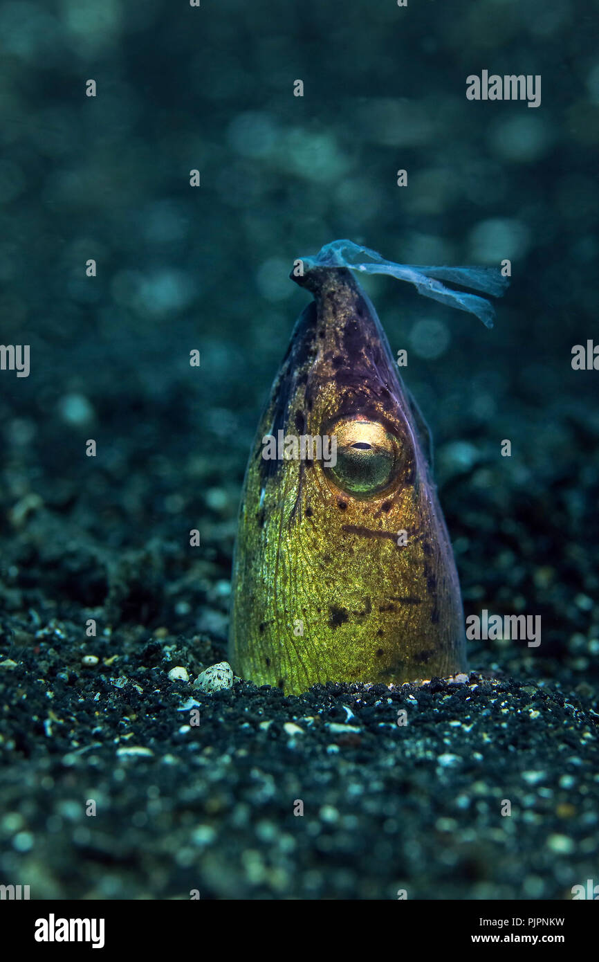 Dark-shouldered snake eel(Ophichthus cephalozona) at the night time. Picture was taken in Lembeh strait, Indonesia - Stock Image