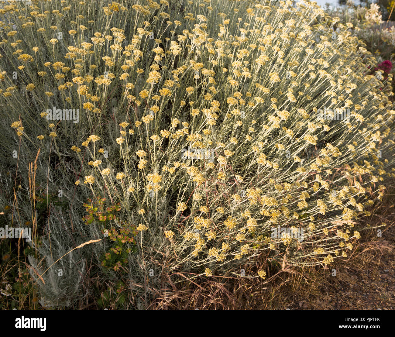 The Curry Plant Helichrysum Italicum Shingle Street