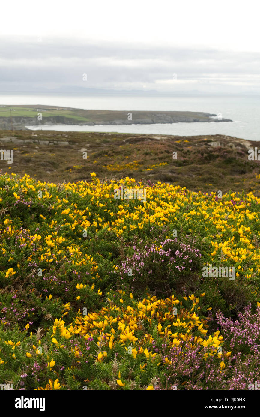 Field of purple flowered heather perennial shrubs (calluna vulgaris, ericaceae) and yellow gorse (ulex, fabaceae) thorny evergreen shrubs - Stock Image