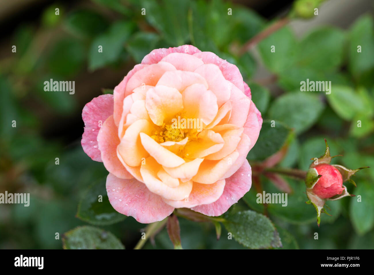 Close up of Patio Rose Peachy - Stock Image