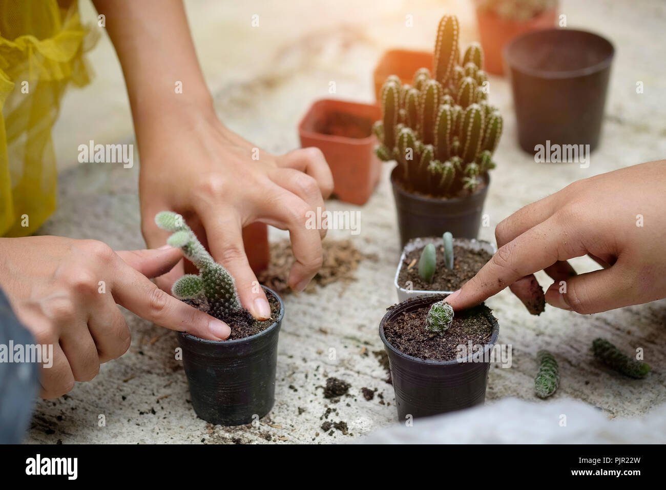 Cropped shot agriculture propagate and reproducing baby cactus on pot. - Stock Image