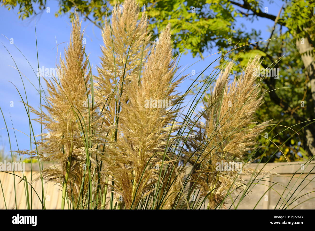 Pampas Grass plumes in late summer in a southern English garden, early morning. - Stock Image
