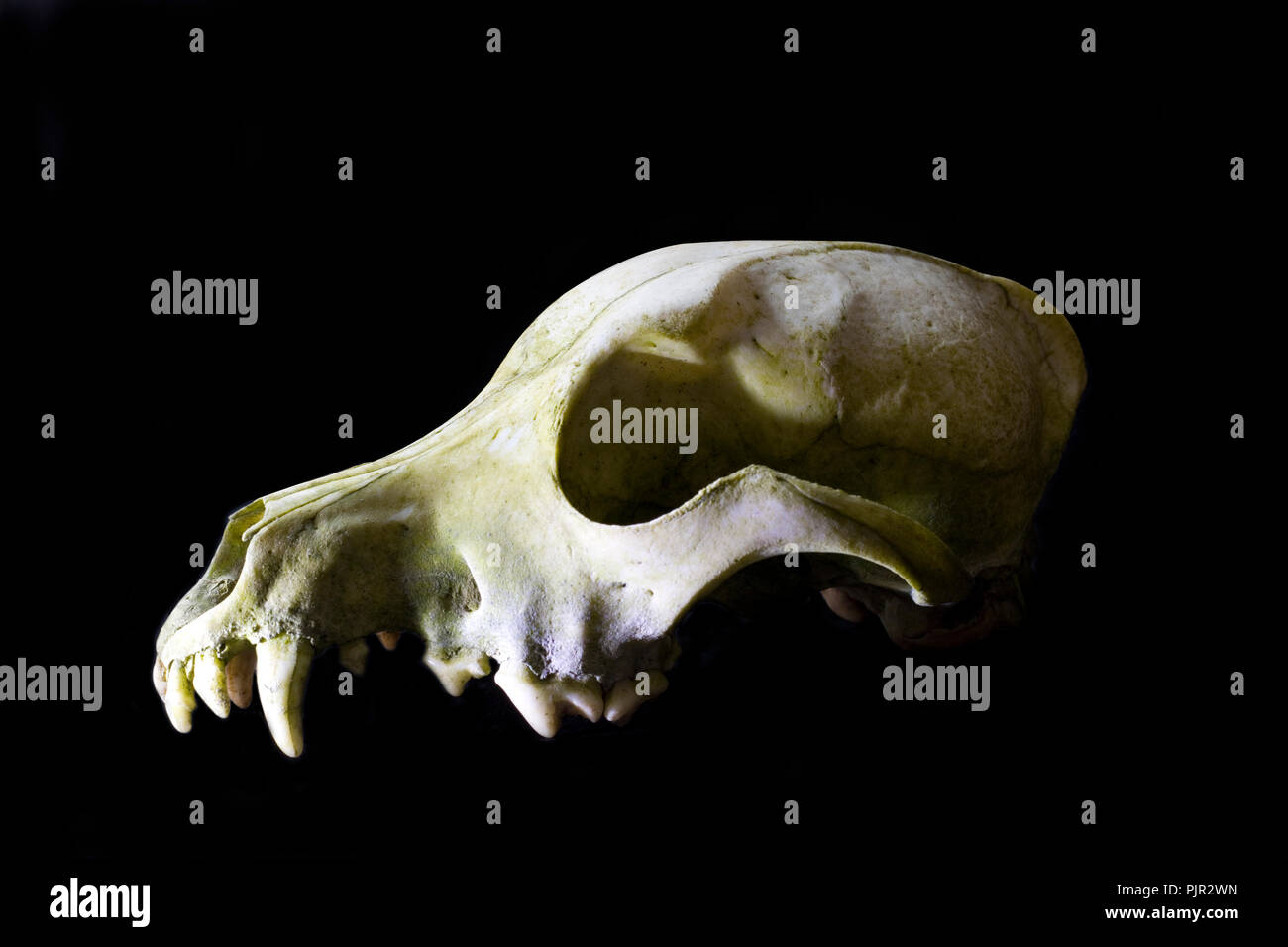 Dog skull close up in high contrast. Illustrative view of death and decay. White bones on a black background. - Stock Image