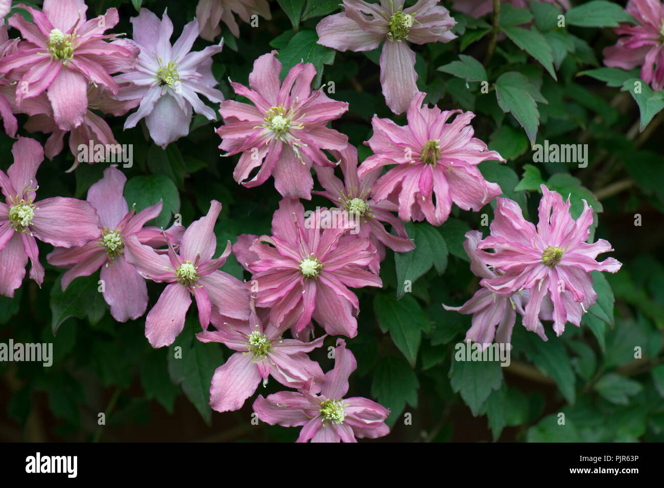 Clematis Montana Broughton Star A Double Pink Flowered Climbing