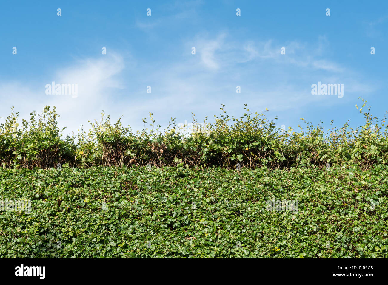 Reducing height of beech hedge in summer - uk - Stock Image