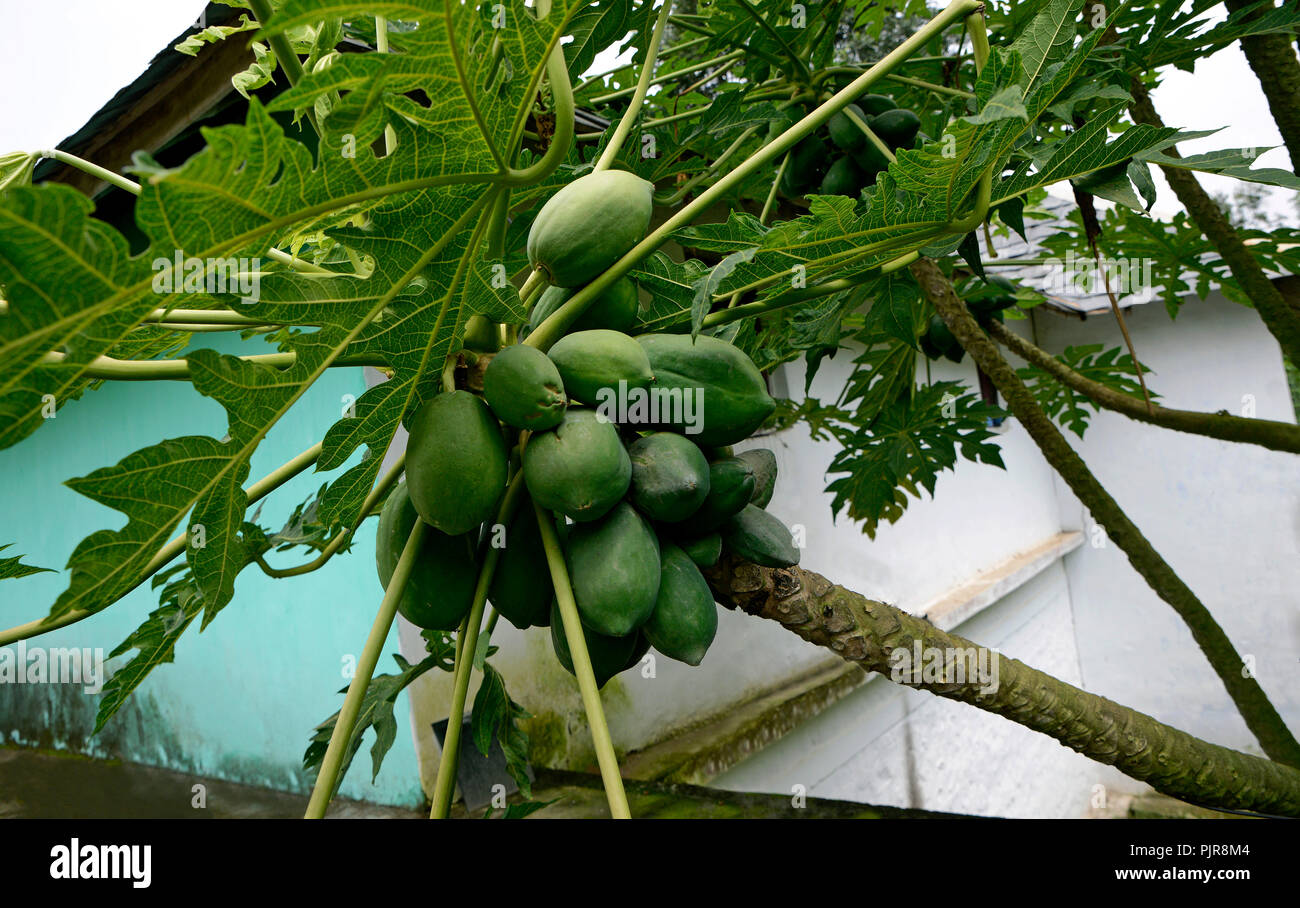 The fruits of green papaya grow on a tree - Stock Image