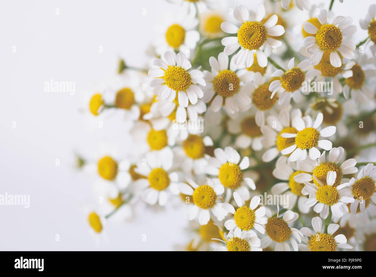 Little daisy flowers bouquet over white soft focus top view close little daisy flowers bouquet over white soft focus top view close up composition copy space izmirmasajfo