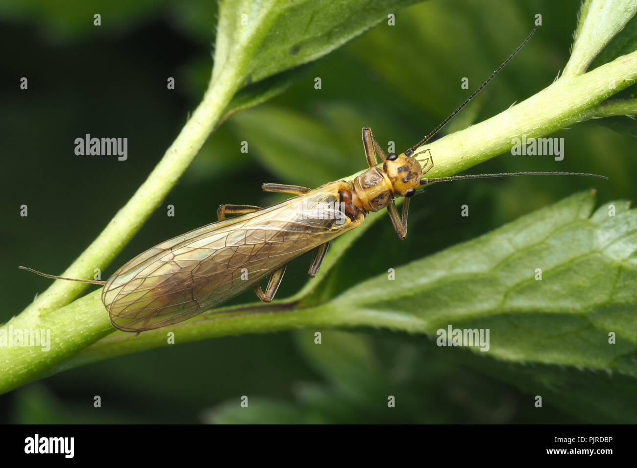 Stonefly (Isoperla grammatica) perched on stem of creeping buttercup. Tipperary, Ireland - Stock Image