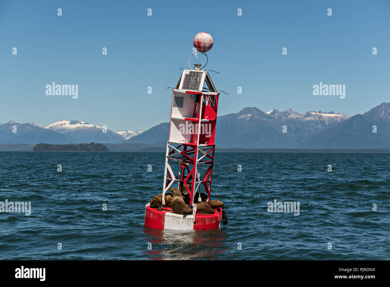 Stellar sea lions rest on a navigation buoy in Frederick Sound in Petersburg Island, Alaska. The sea lions use the buoy to avoid hunting packs of Orcas that frequent the ares in the summer months. - Stock Image