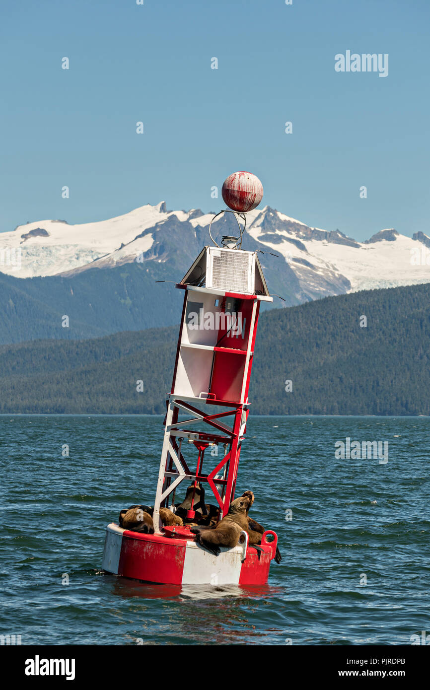 Stellar sea lions rest on a navigation buoy in Frederick Sound in Petersburg Island, Alaska. The sea lions use the buoy to avoid hunting packs of Orcas that frequent the ares in the summer months. Stock Photo