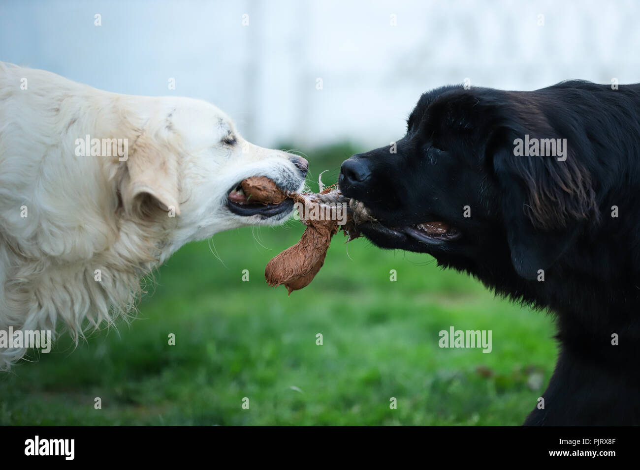 White golden retriever and black newfoundland dog play tug of war with a dog toy - Stock Image