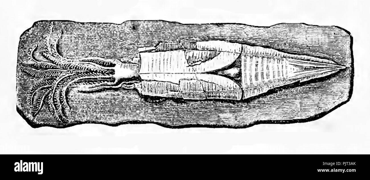 Belemnotheutis antiquus. - Stock Image