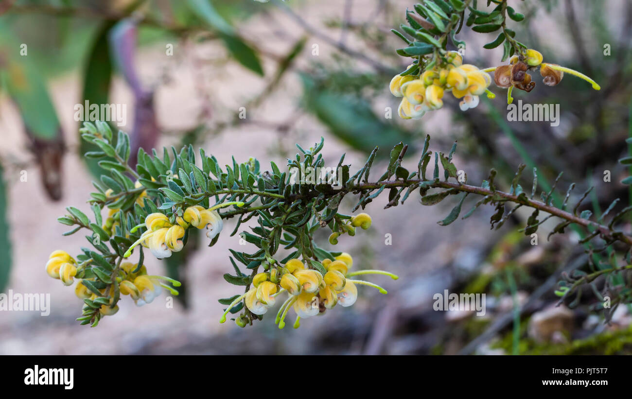 Yellow form of Cats Claw Grevillea (Grevillea Alpina) - Stock Image