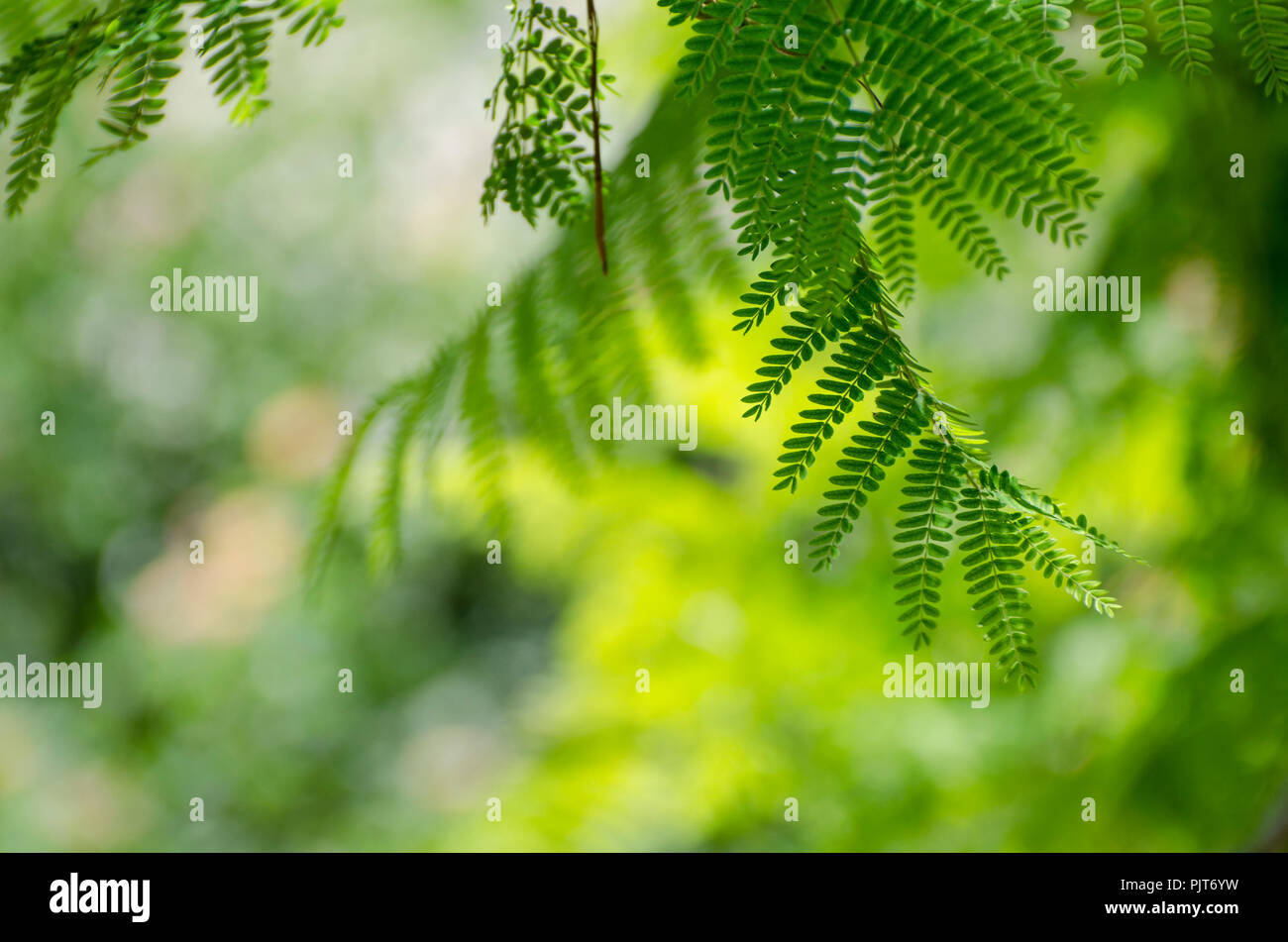 Royal Poinciana or Delonix Regia green leaves. It also known as Flame tree. - Stock Image