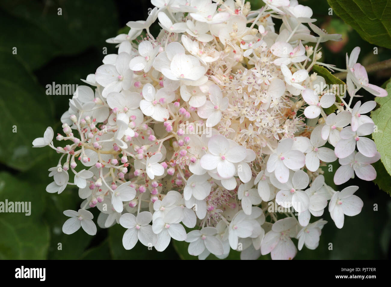creamy white fertile flowers and pinkish sterile florets of a panicled hydrangea - Stock Image