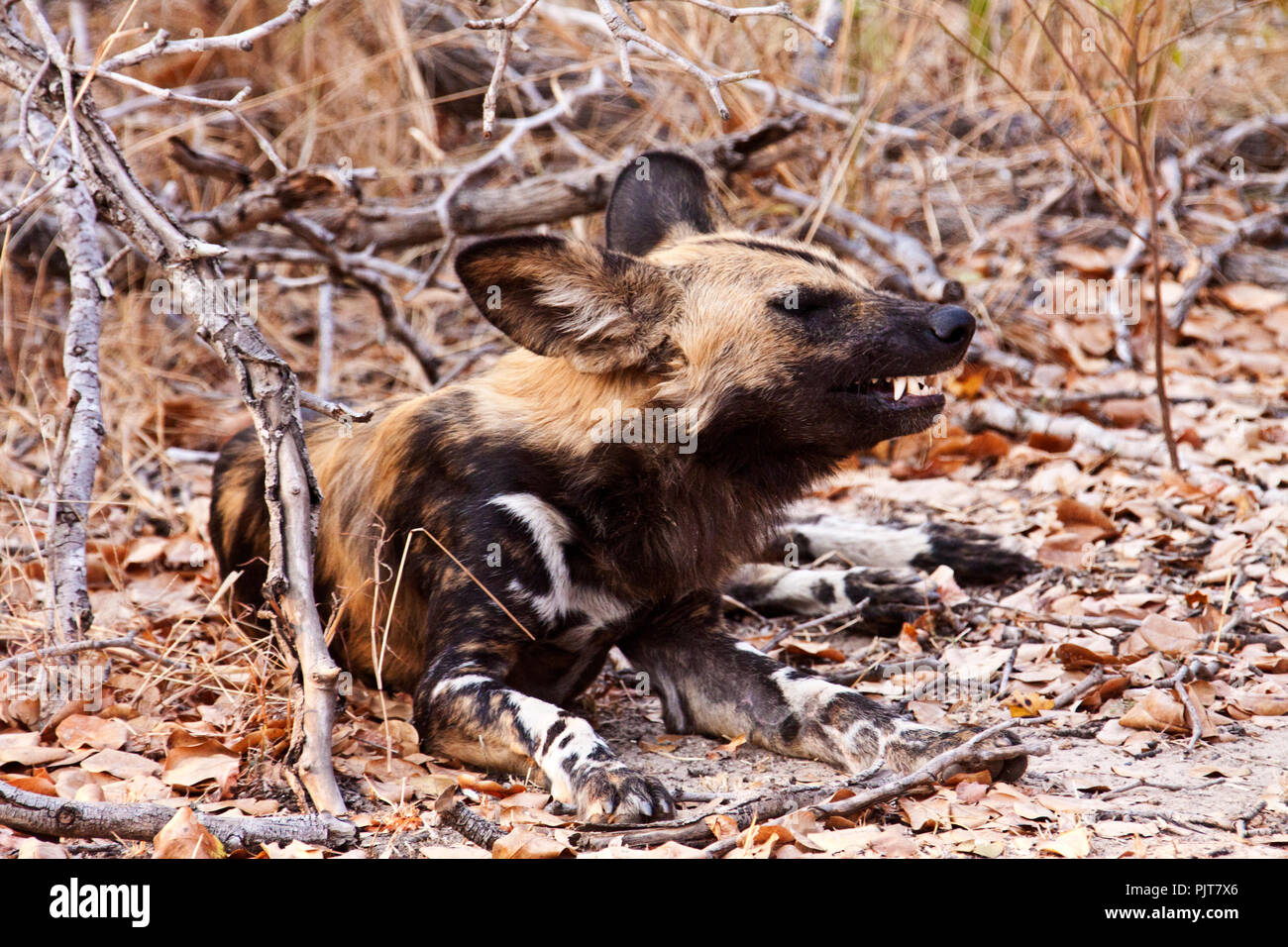 A Wild dog sneezes while having a well earned break from the twice daily hunt during the denning season when the pack has to provide for voracious mot - Stock Image