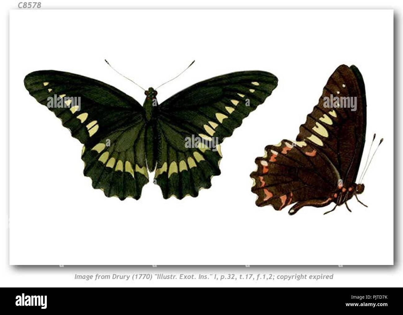 Battus polydamas antiquus 1. - Stock Image