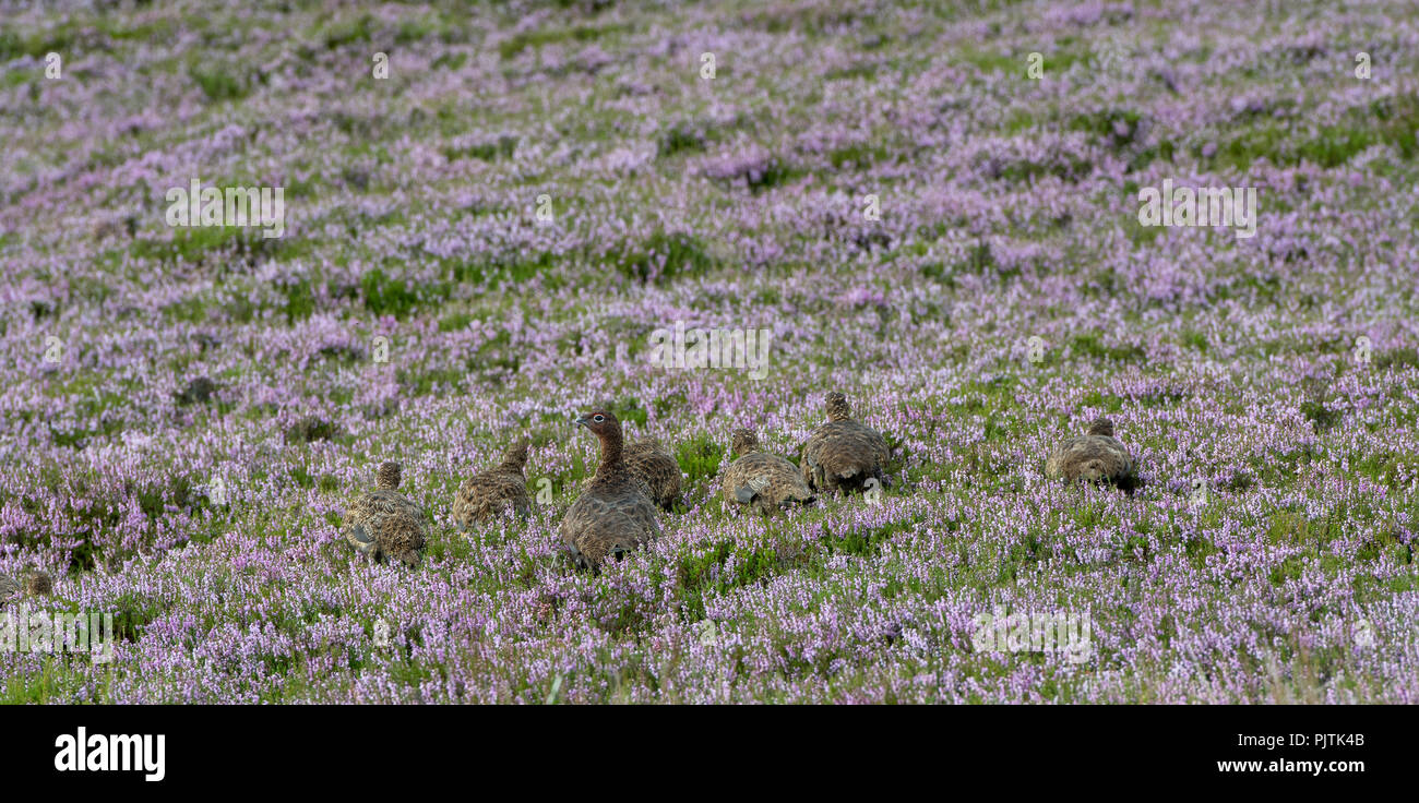Red Grouse, Lagopus lagopus scotica, with a brood of chicks on a heather moorland, North Yorkshire, UK. - Stock Image