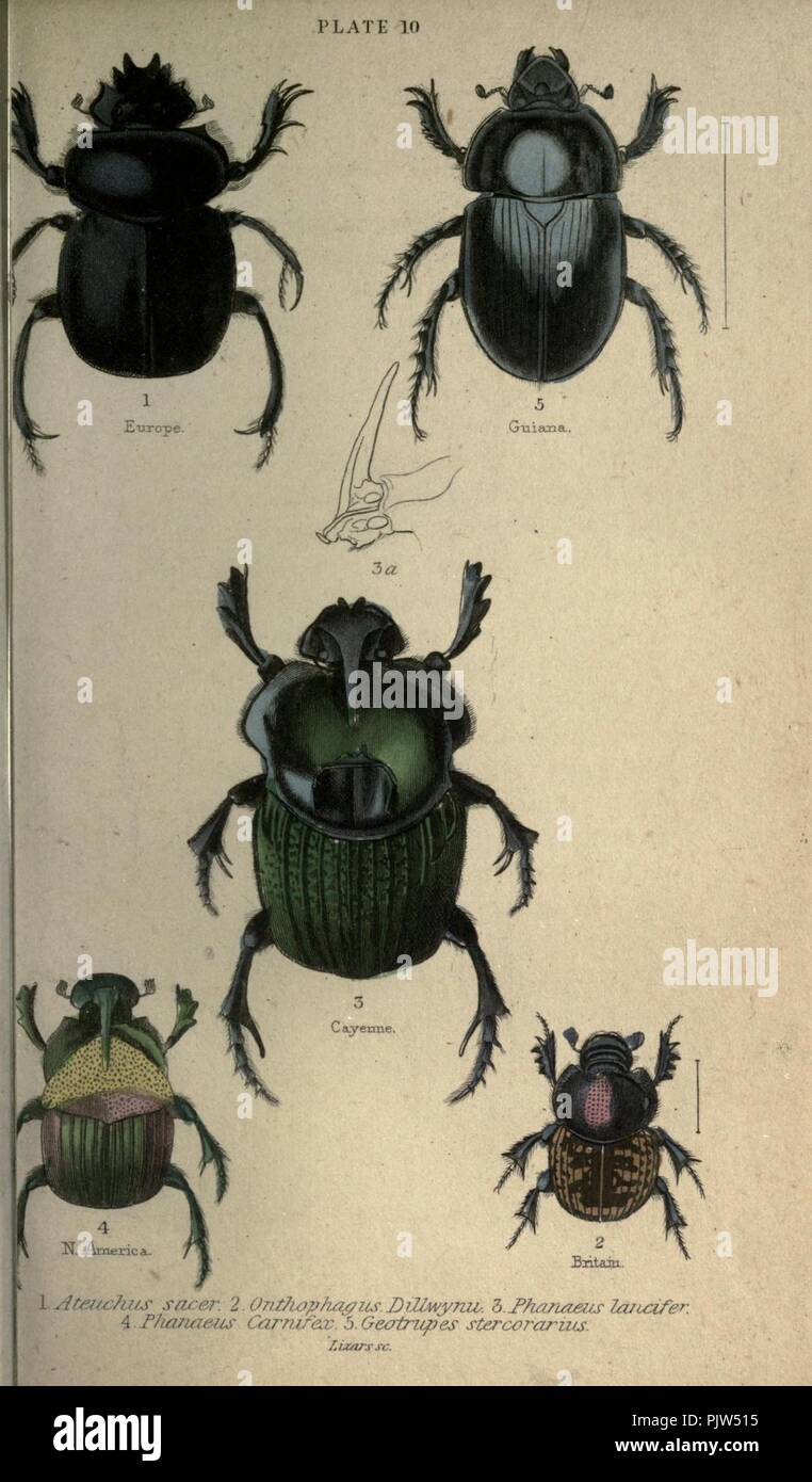 Beetles (Plate 10) Stock Photo