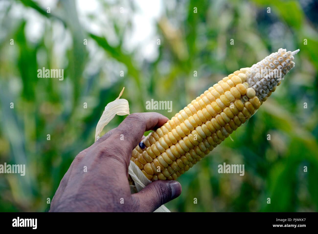 Corn Plants In The Field - Stock Image