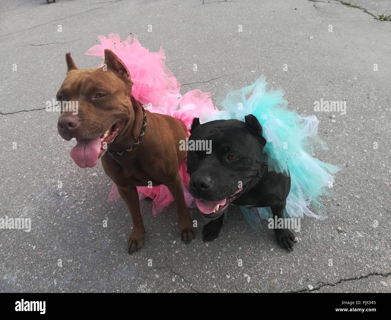 St.Petersburg, Russia. 9th September 2018. Costume Parade at the Pit Bull and Staffordshire Bull Terrier dog show in Aviators' Park at St.Petersburg, Russia Credit: Nastia M/Alamy Live News Stock Photo