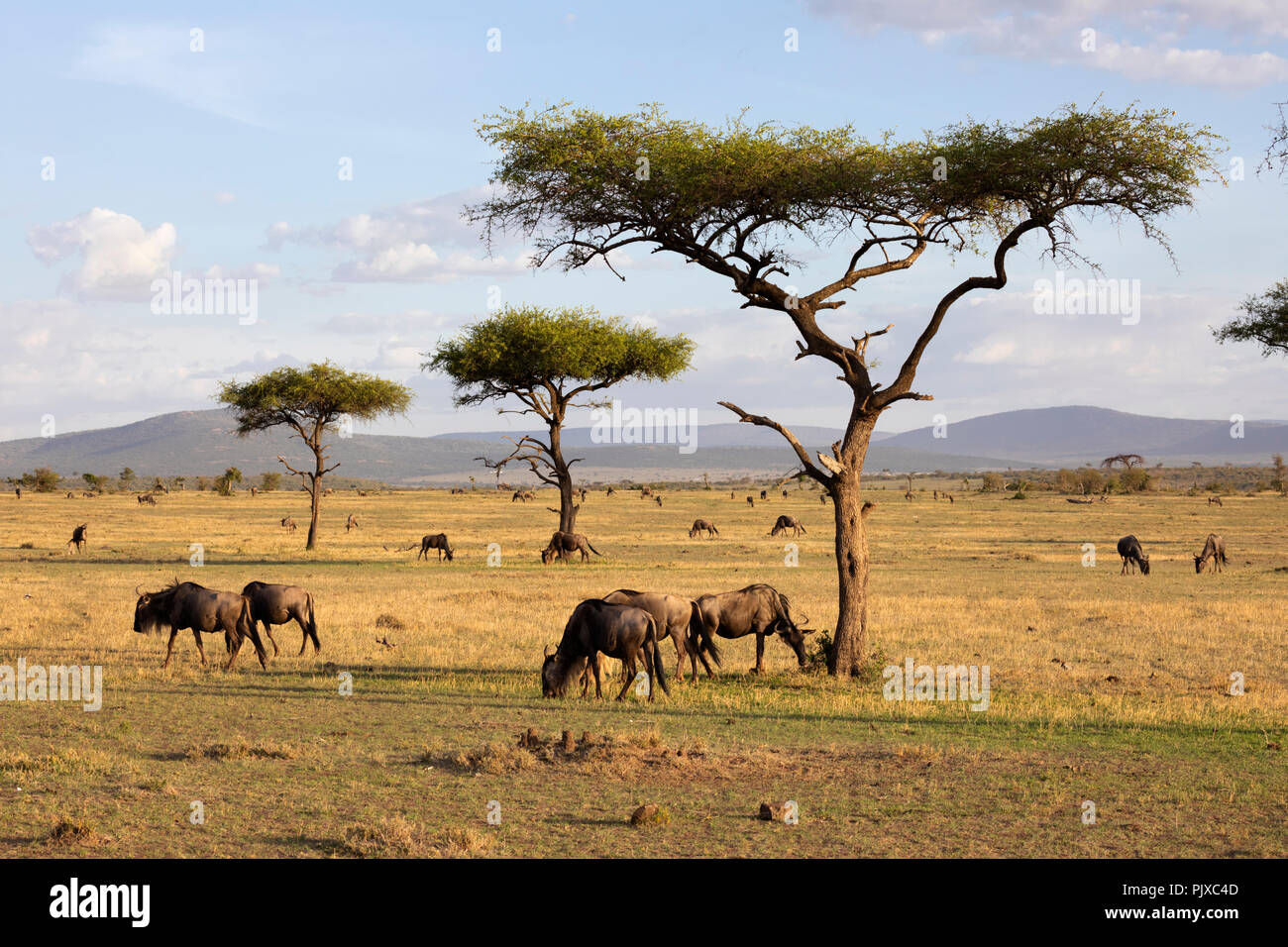 MAASAI MARA NATIONAL RESERVE, KENYA, AFRICA -  Wildebeest grazing in the Naboisho Conservancy with acacia trees and mountains in evening sunlight Stock Photo