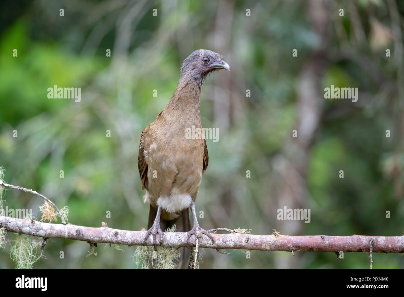 Gray-headed chachalaca (Ortalis cinereiceps) in Costa Rica - Stock Image