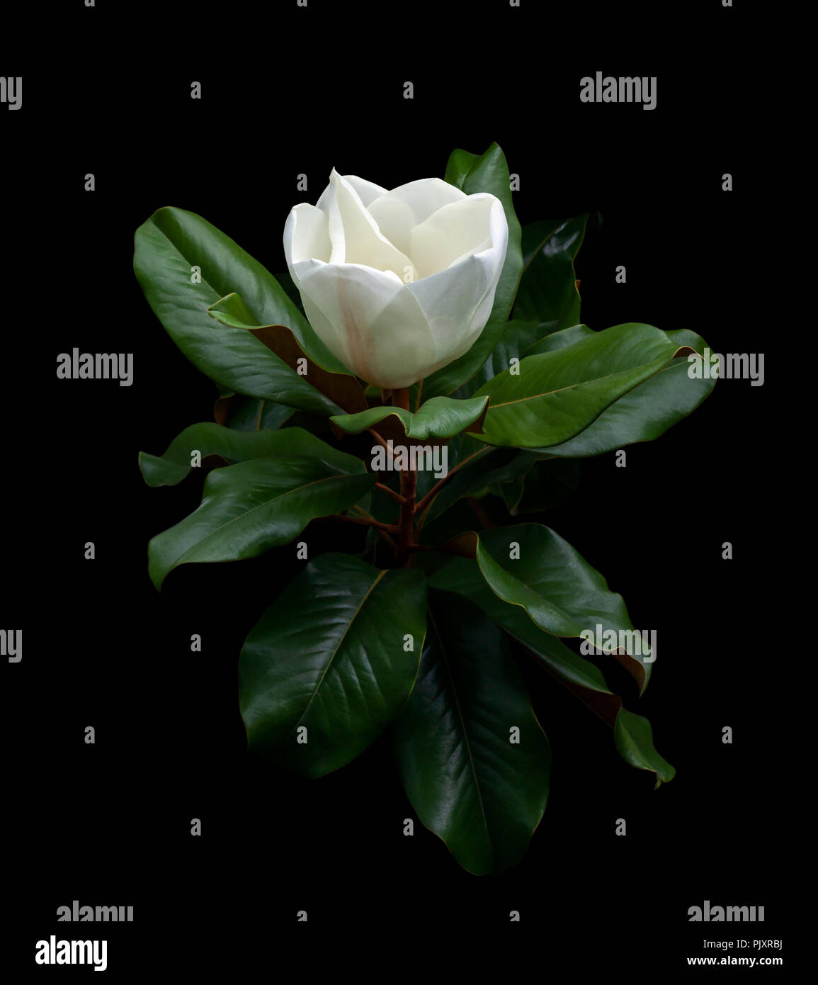 White Magnolia Flower And Leaf Canopy Closeup Isolated On A Black