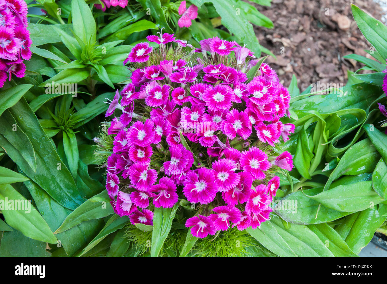 Dianthus Barbarini F1 Purple  with green leaf background. Common name Sweet William. - Stock Image
