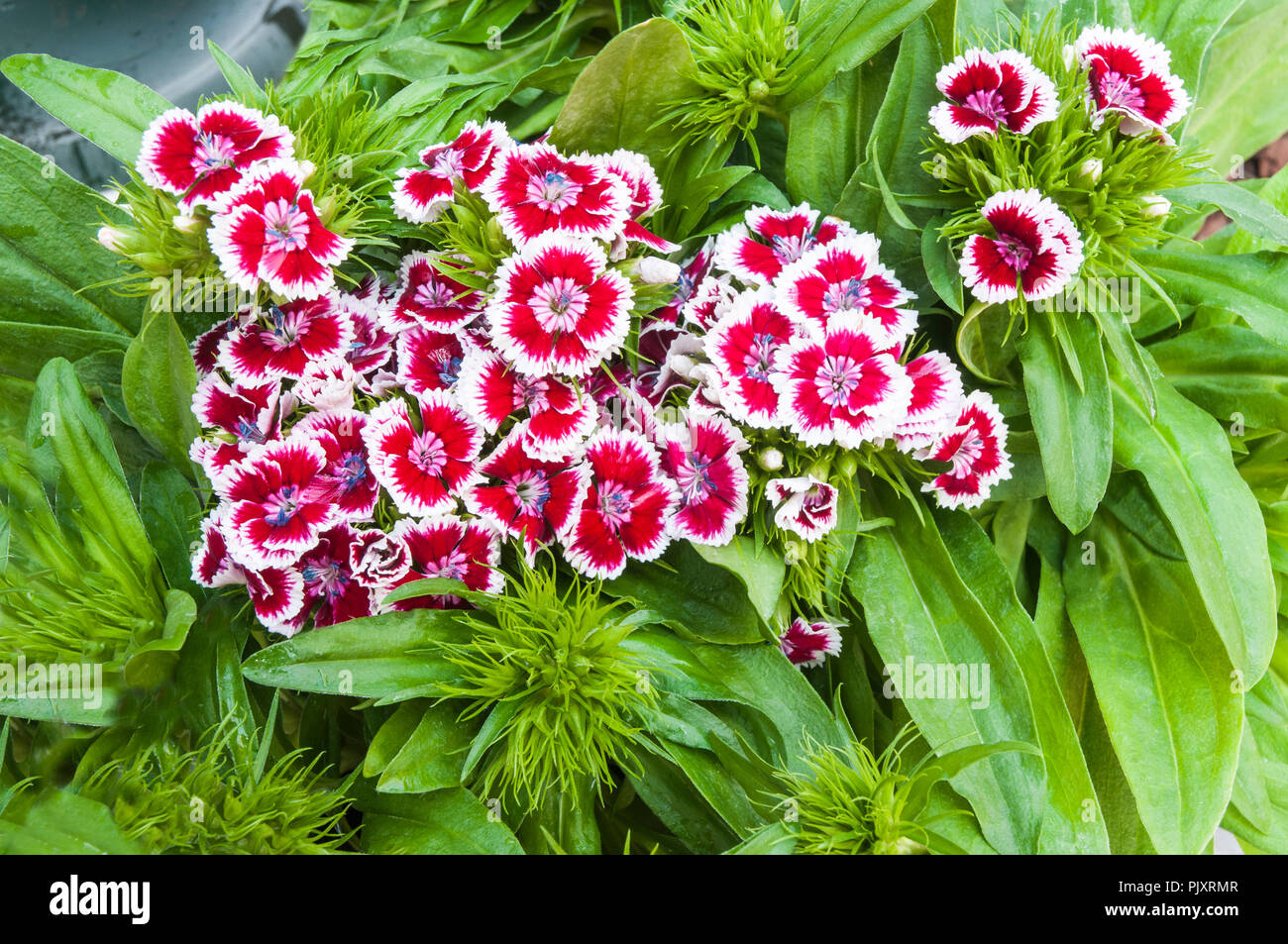 Dianthus Barbarini F1 Red Picotee with green leaf background. Common name Sweet William. - Stock Image