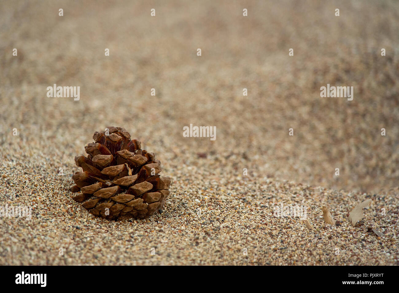 A close up of a single lone Spruce pine cone on a wind blown sandy beach. - Stock Image