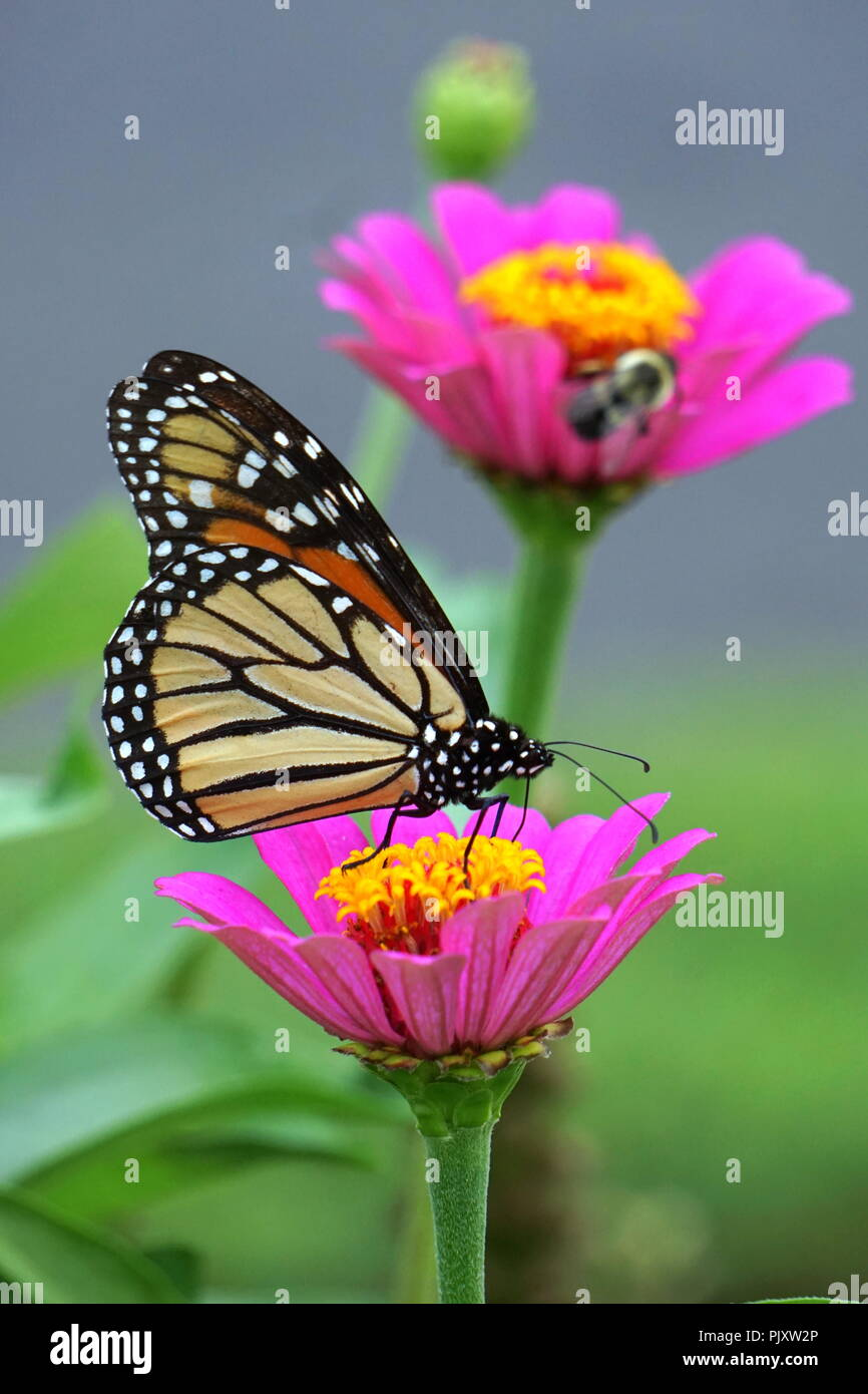 Monarch Butterfly Pollinating Pink Zinnia Flower - Stock Image