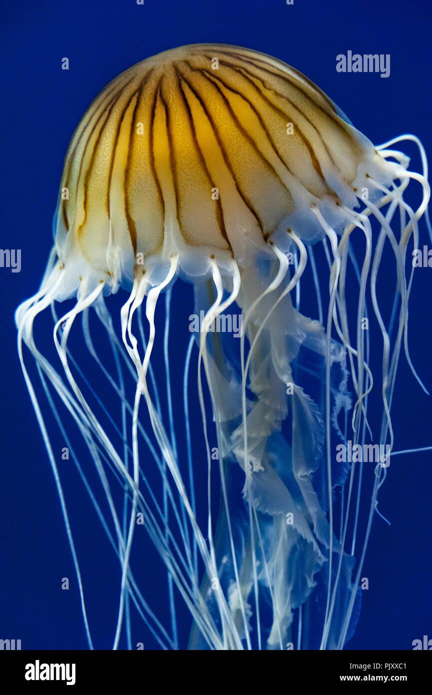South American sea nettle jellyfish at the Georgia Aquarium in Atlanta, Georgia. (USA) - Stock Image