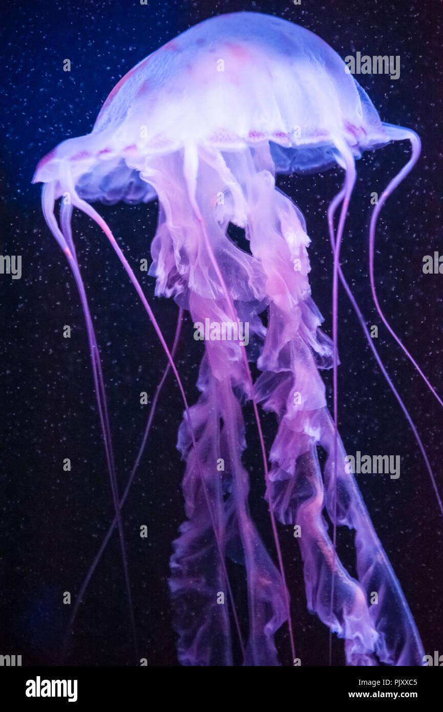Beautiful jellyfish at the Georgia Aquarium in Atlanta, Georgia. (USA) - Stock Image