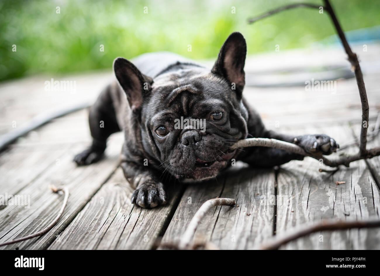 French bulldog portrait - Stock Image