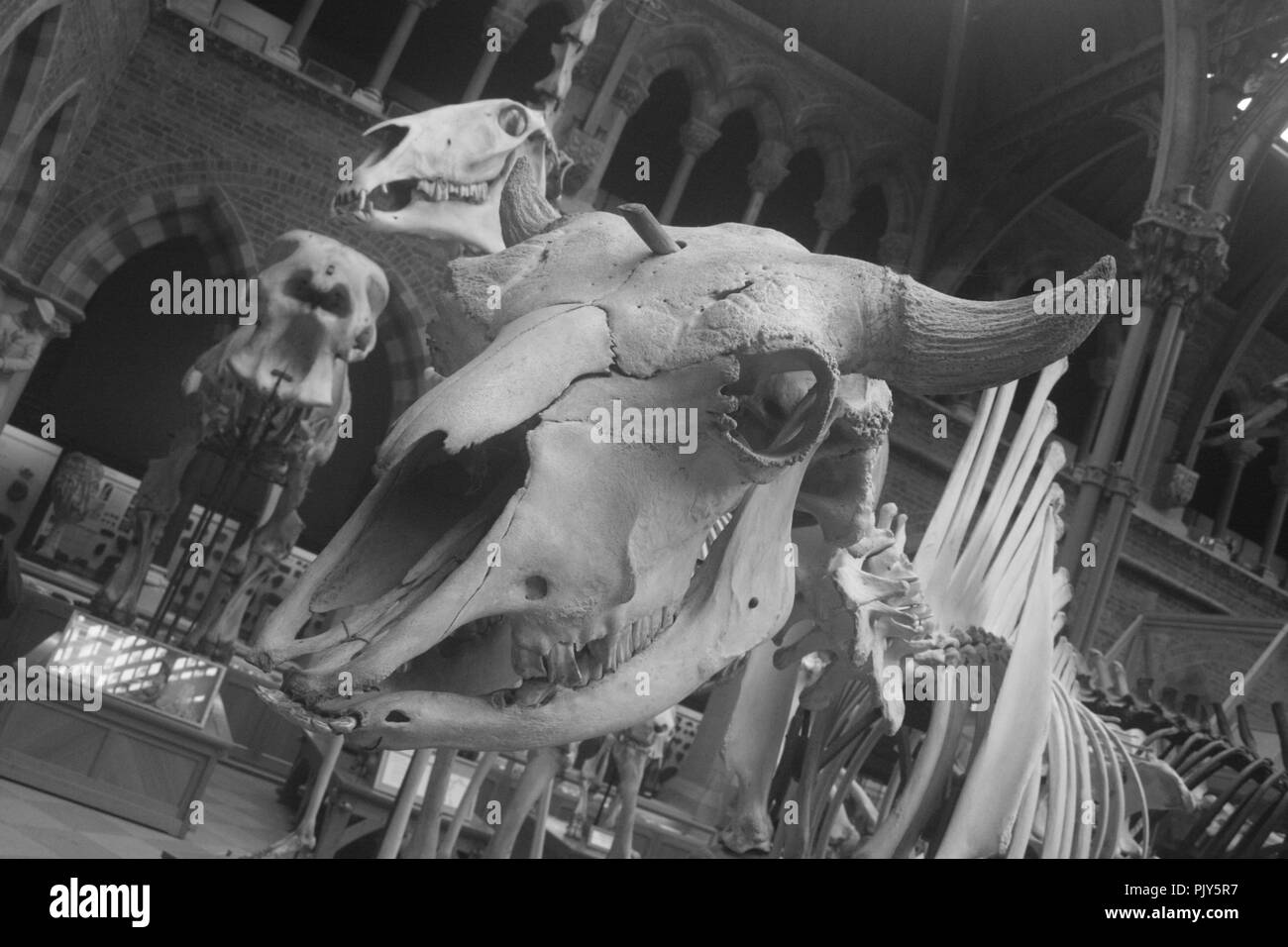 The photograph was taken of the skeleton of a dinosaur at the Natural History Museum in Oxford, United Kingdom in March 2017. Stock Photo