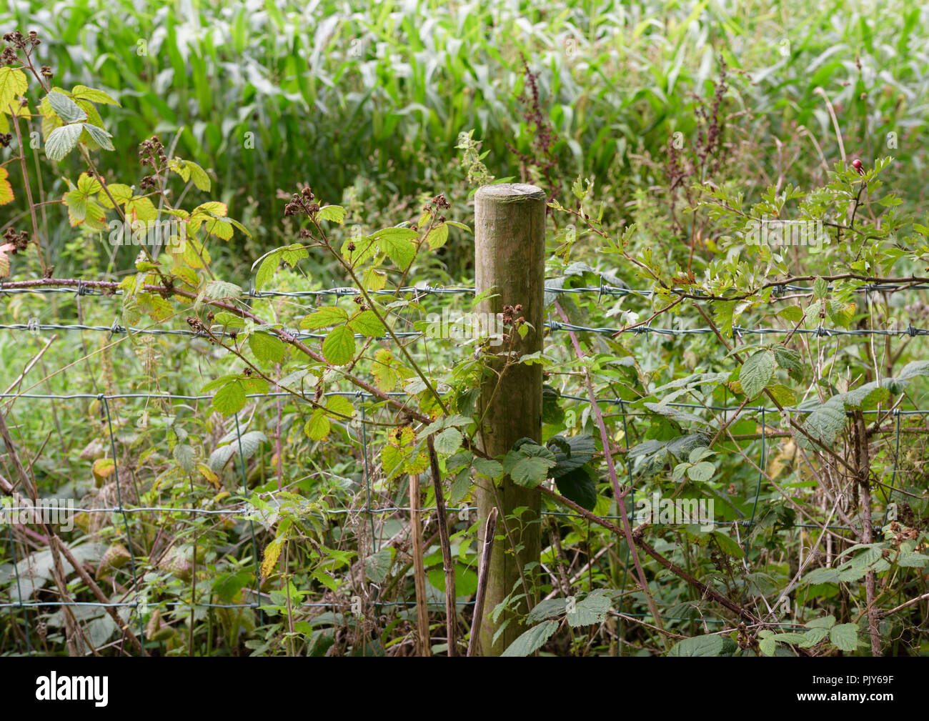 Wooden Fence post and barb wire fence in front of maize crop - Stock Image