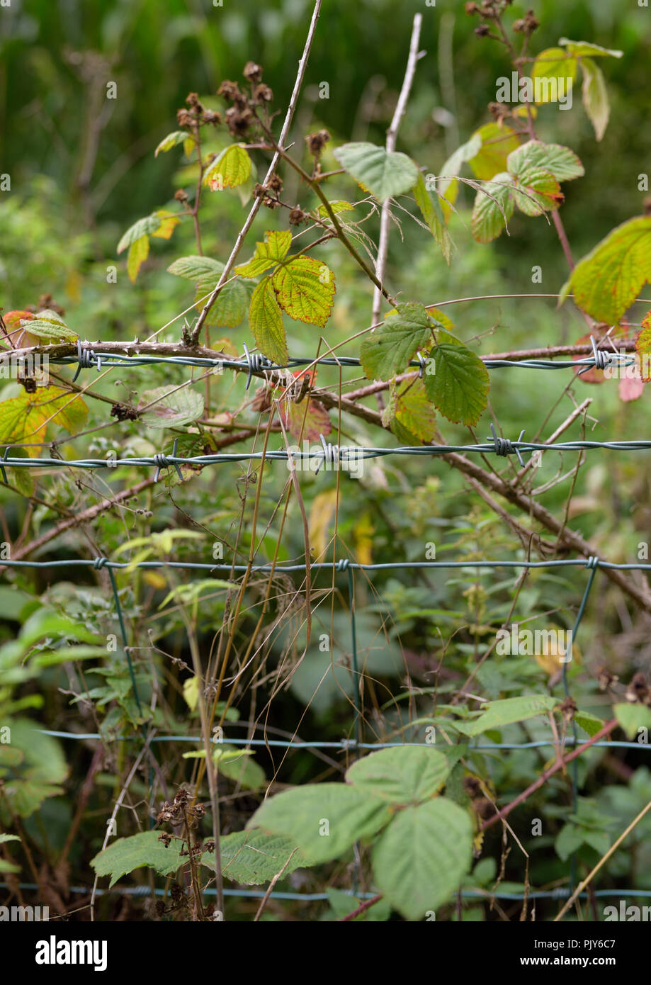 Barbed wire fence overgrown in Cheshire north west england uk - Stock Image
