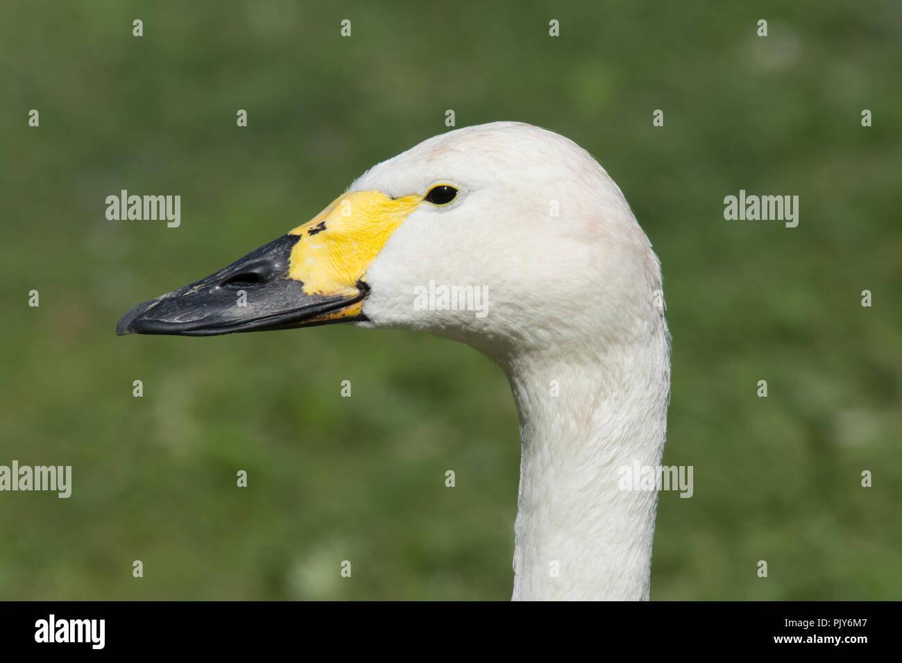 Bewick's swan (Cygnus columbianus bewickii) - Stock Image