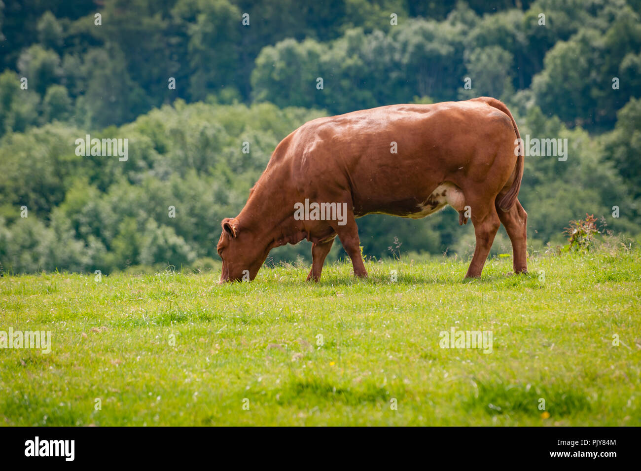 Red poll cow grazing in summer meadow - Stock Image