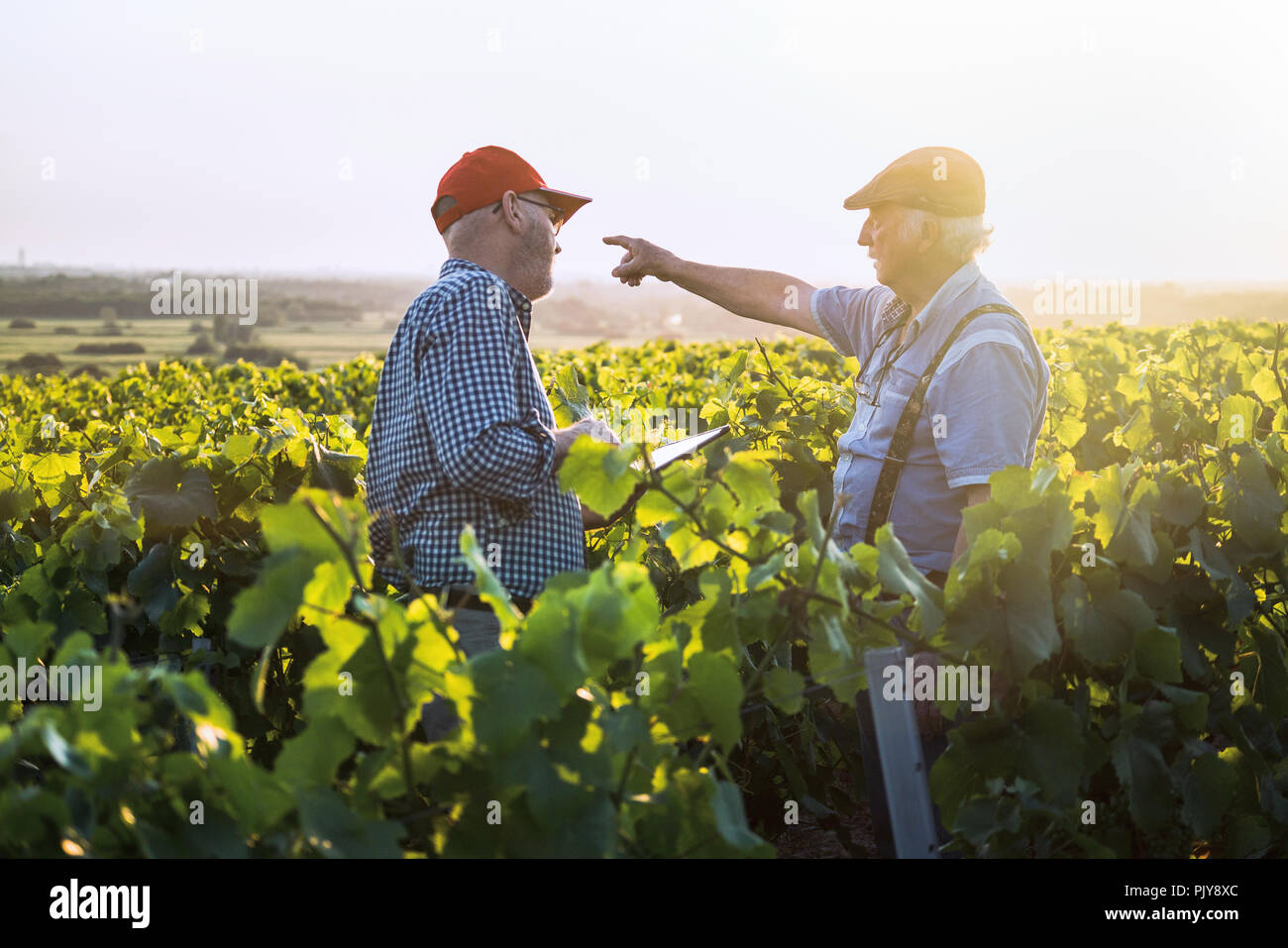 Winegrowers using a tablet, in their vines at sunset. - Stock Image