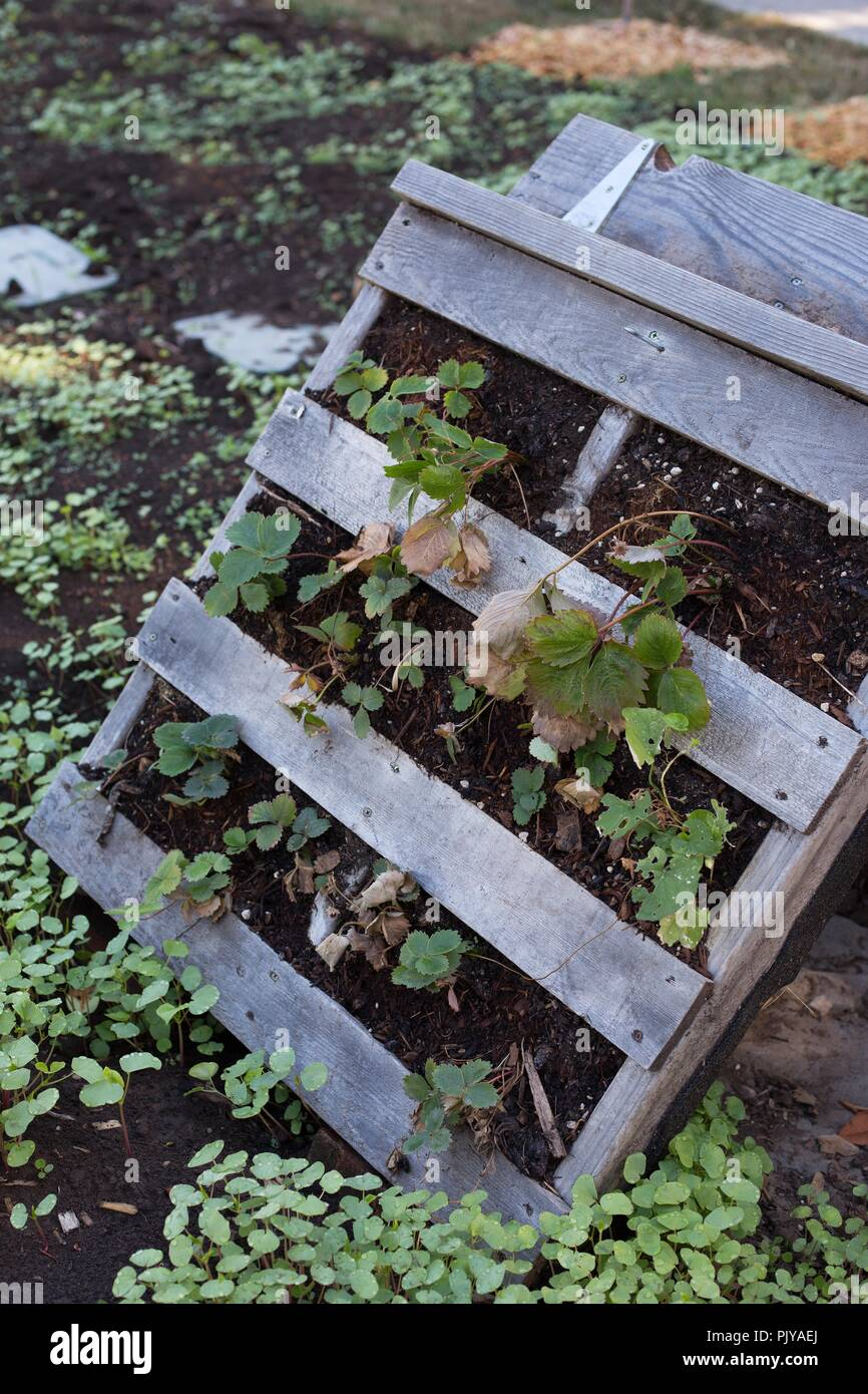 A wood pallet garden, folded. - Stock Image