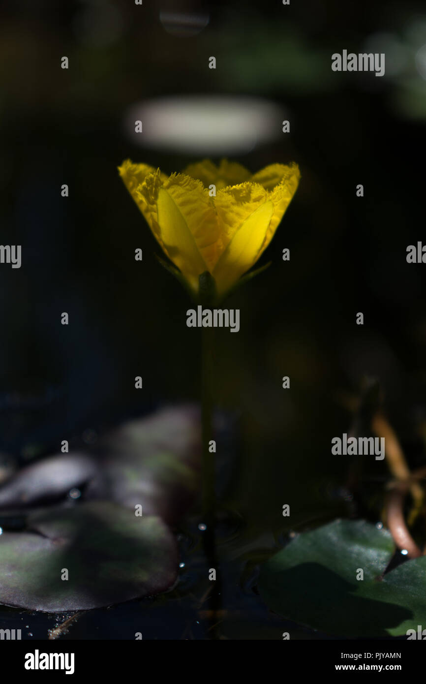 Small Bright Yellow Blooming Lotus Flower With A Dark Bokeh
